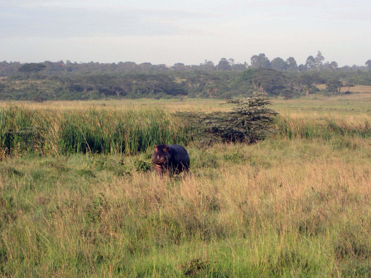 Hipopótamo, Nairobi National Park