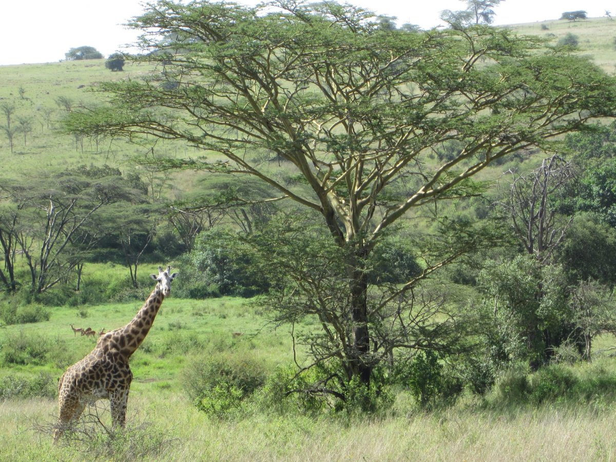Girafa no Nairobi National Park