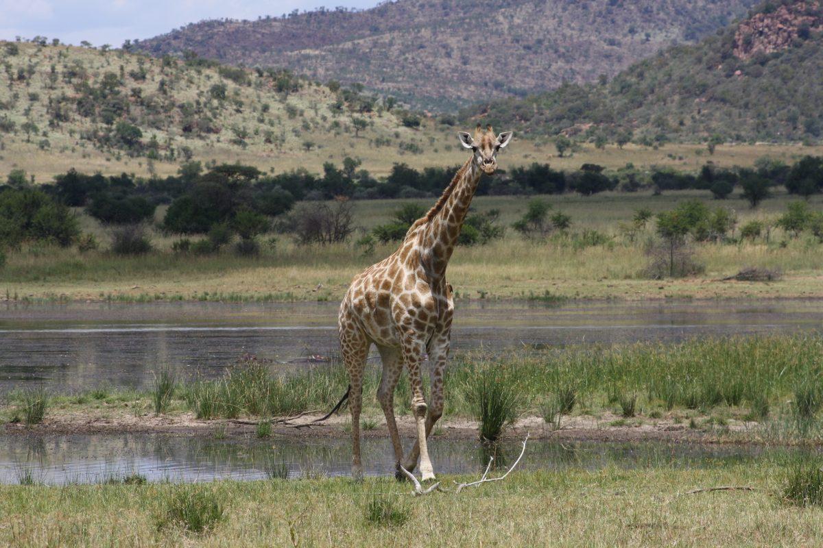 Girafa imponente