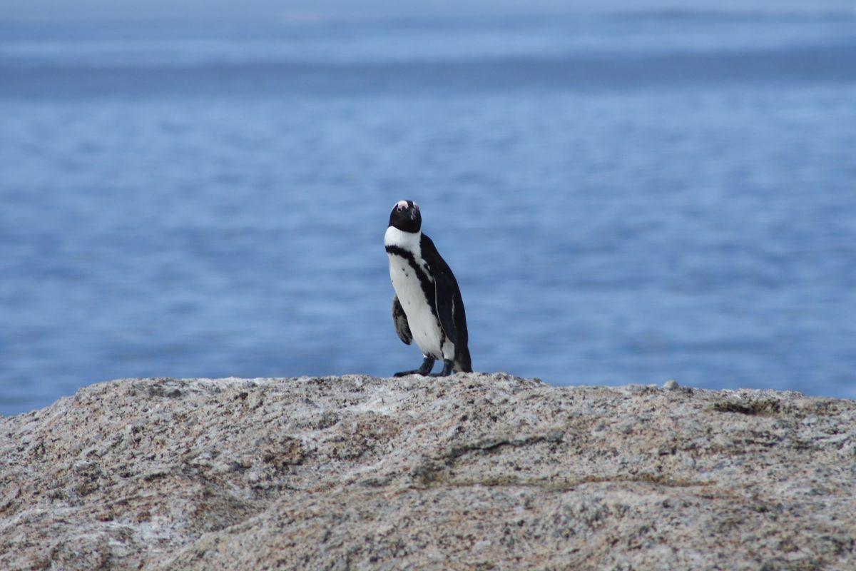 Pinguin em Boulders Beach