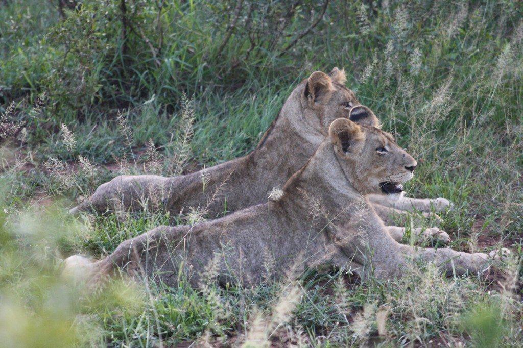 leoas no kruger